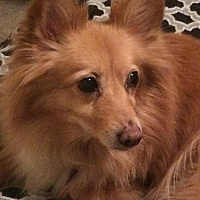 Adopt A Pet :: Honey 3297 - Toronto, ON