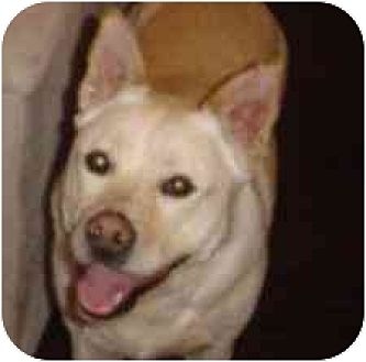 Husky/Shepherd (Unknown Type) Mix Dog for adoption in Houston, Texas - Sugar
