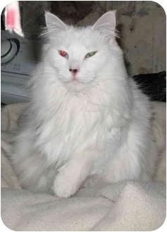 Domestic Longhair Cat for adoption in Cincinnati, Ohio - Snowbell
