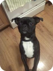 Pug Mix Dog for adoption in Youngstown, Ohio - Pebbles ~ Pending Adoption