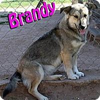 Adopt A Pet :: Brandy - Midland, TX