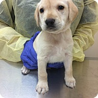 Adopt A Pet :: Jabba (Star Wars Pup) - Cumming, GA