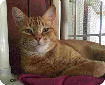 Domestic Shorthair Cat for adoption in Menifee, California - Danny