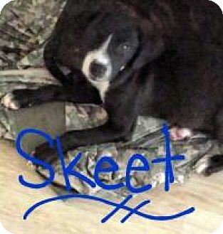 Labrador Retriever Mix Puppy for adoption in Walker, Louisiana - Skeet