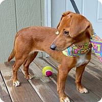 Adopt A Pet :: Amber - Baton Rouge, LA