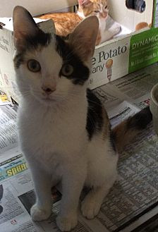 Domestic Shorthair Cat for adoption in Mt Pleasant, Pennsylvania - Buttons