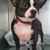 Chihuahua Mix Dog for adoption in Scottsdale, Arizona - Boodah