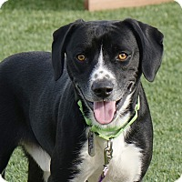 Adopt A Pet :: Snickers - Columbia, IL