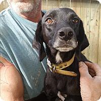 Adopt A Pet :: Princess-pending - Chiefland, FL