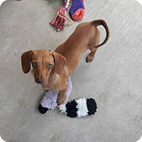 Adopt A Pet :: Bunnie - San Antonio, TX