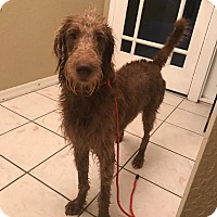 Adopt A Pet :: Remi - Labradoodle - St. Petersburg, FL