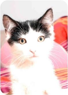Domestic Shorthair Kitten for adoption in New York, New York - Chaps
