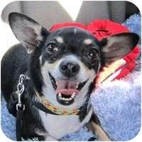 Chihuahua/Corgi Mix Dog for adoption in Denver, Colorado - Sophie
