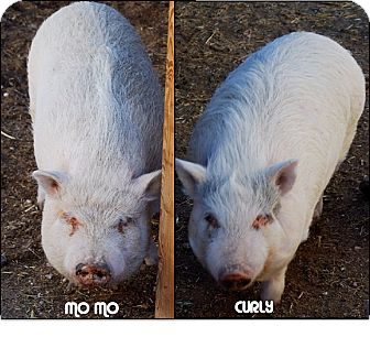 Pig (Potbellied) for adoption in Las Vegas, Nevada - Mo & Curly