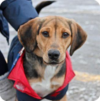 Beagle Mix Dog for adoption in Douglas, Ontario - Buffy