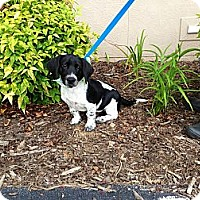 Adopt A Pet :: OLIVER-THE CUTEST PUPPY EVER! - Bluff city, TN
