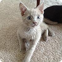 Adopt A Pet :: Pewter - Lake Charles, LA