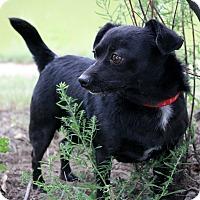 Adopt A Pet :: Hector - Fountain, CO