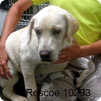 Adopt A Pet :: Roscoe - Greencastle, NC