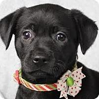 Adopt A Pet :: Chelsea - Minneapolis, MN