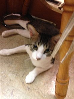 Domestic Shorthair Cat for adoption in Beeville, Texas - Bello