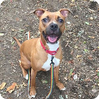 Staffordshire Bull Terrier/Collie Mix Dog for adoption in NYC, New York - KYLA