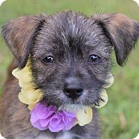 Adopt A Pet :: Daisy Mae - Denver, CO
