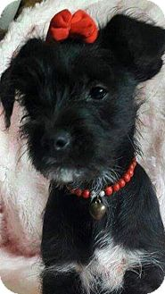 Lakeland Terrier/Terrier (Unknown Type, Small) Mix Puppy for adoption in San Diego, California - Lisa