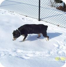 Entlebucher/Mountain Cur Mix Dog for adoption in Wilmington, Massachusetts - Jezebel