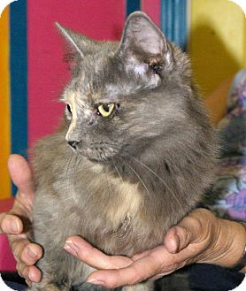 Domestic Longhair Cat for adoption in Mobile, Alabama - Ewok