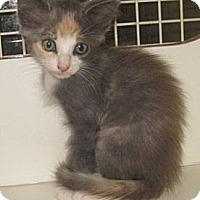 Adopt A Pet :: Brie - Dallas, TX