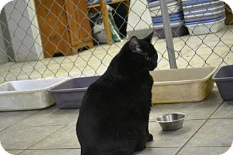 Domestic Shorthair Cat for adoption in East Smithfield, Pennsylvania - Jabba