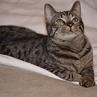 Domestic Shorthair Cat for adoption in Cleburne, Texas - Malone
