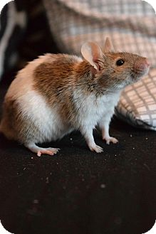 Mouse for adoption in Rochester, New York - Moo