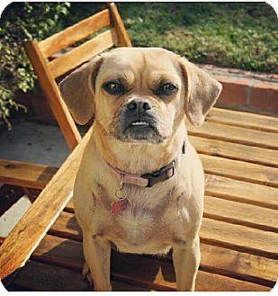 Pug/Beagle Mix Dog for adoption in Ocean Beach, California - Winnie