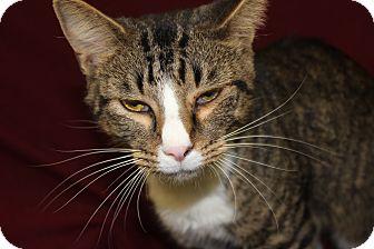 Domestic Shorthair Cat for adoption in Danville, Illinois - CAROL