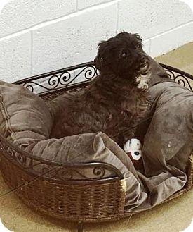 Poodle (Miniature) Mix Dog for adoption in Miami, Florida - Tootsie