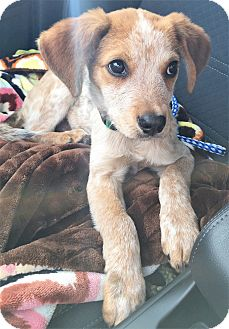 Australian Cattle Dog/Blue Heeler Mix Puppy for adoption in Saratoga Springs, New York - (T) Rusty ~ ADOPTED!