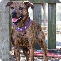 Adopt A Pet :: Daisy Mae - Plant City, FL
