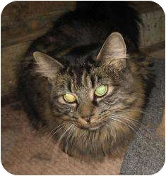 Domestic Longhair Cat for adoption in Warminster, Pennsylvania - Alice