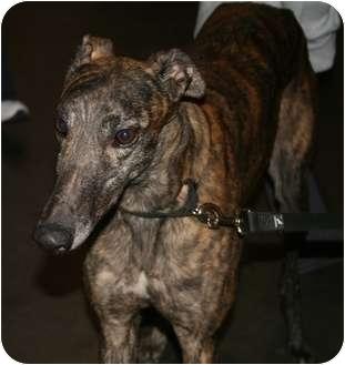 Greyhound Dog for adoption in Smyrna, Tennessee - Lava Linecum