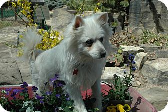 American Eskimo Dog Dog for adoption in Ft. Collins, Colorado - General