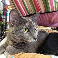 Domestic Shorthair Cat for adoption in Cerritos, California - Fiona