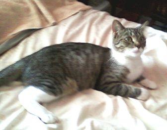 Domestic Shorthair Cat for adoption in Harmony, North Carolina - Baby