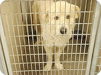 Great Pyrenees Puppy for adoption in Oklahoma City, Oklahoma - Foster Homes Needed