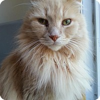 Domestic Longhair Cat for adoption in Acme, Michigan - Jimmy