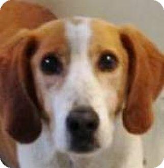 Coonhound/Hound (Unknown Type) Mix Dog for adoption in Billerica, Massachusetts - Ruby
