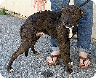 Pit Bull Terrier/Labrador Retriever Mix Dog for adoption in Laingsburg, Michigan - Pee Wee