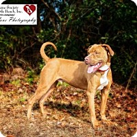 Terrier (Unknown Type, Medium)/American Pit Bull Terrier Mix Dog for adoption in North Myrtle Beach, South Carolina - Eli