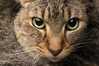 Domestic Shorthair Cat for adoption in Colorado Springs, Colorado - Kenobi